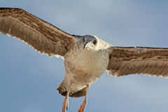 Eyes that watch from the sky. Seagull caught in flight while watching Royalty Free Stock Photo