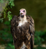 Into the Eyes of A Western Ruppell's Vulture Royalty Free Stock Photo