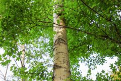 Eyes of white birch. Northeast China Royalty Free Stock Photography