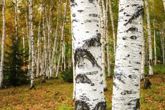 Eyes of white birches in the autumn. Northeast China Stock Images