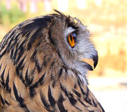 Eyes wide open. Owl at rest during an exhibition Royalty Free Stock Images