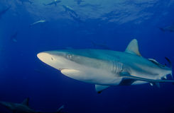 Eyes wide open. A close up on a bull shark, Pinnacles, Mozambique Royalty Free Stock Image