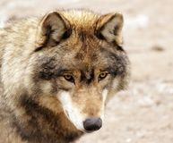 Eyes of a wolf. Yellow eyes of a big grey wolf Stock Photos