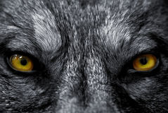 Eyes of wolf. Beautiful eyes of a wild wolf: dangerous mammal Royalty Free Stock Photography