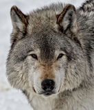 Eyes of the Wolf Stock Photography