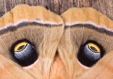 Eyespots av en mal arkivfoto