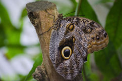 Eyespots de papillon Photos libres de droits