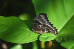Eyespots en las alas cerradas de una mariposa azul de Morpho Imagen de archivo