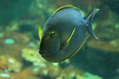 Eyestriped surgeonfish Arkivfoto
