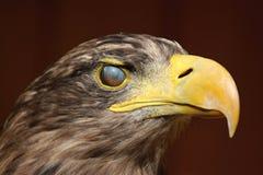 Eyewink, Overzeese adelaar (albicilla Haliaeetus) Royalty-vrije Stock Foto's