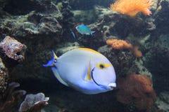 Eystrip surgeonfish Royaltyfria Foton