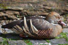 Eytoni Dendrocygna утки Plumed свистя Стоковые Изображения RF