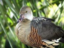 Eytoni Dendrocygna утки Plumed свистя Стоковое Изображение RF