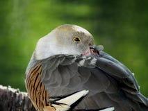 Eytoni Dendrocygna утки Plumed свистя Стоковое Фото