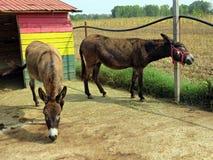 Ezel bij het landbouwbedrijf stock foto