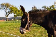 ezel bij paddock royalty-vrije stock fotografie