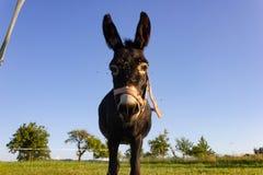 ezel bij paddock royalty-vrije stock afbeelding