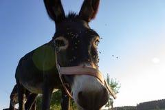 ezel bij paddock royalty-vrije stock afbeeldingen