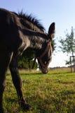ezel bij paddock stock fotografie