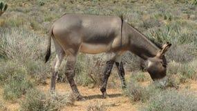 Ezel in de Woestijn stock fotografie