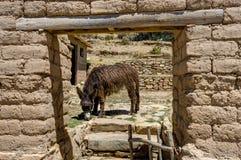 Ezel die La-isla del Sol Lake TIticaca eten Stock Fotografie
