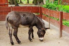 Ezel in dierentuin Royalty-vrije Stock Afbeelding