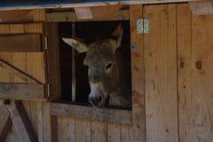 Ezel in een landbouwbedrijf in bergen van southtyrolitalië Het landelijke Leven Royalty-vrije Stock Afbeeldingen