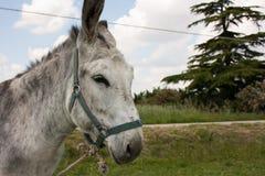 Ezel in een typisch Italiaans Landbouwbedrijf Royalty-vrije Stock Fotografie