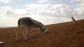 Ezel en hond in de woestijn op een achtergrond van stock videobeelden