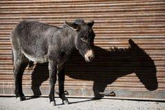 Ezel en schaduw de vallei Ladakh, India van Nubra Royalty-vrije Stock Foto