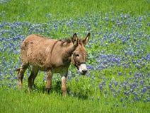 Ezel het weiden op het weiland van Texas bluebonnet stock afbeelding