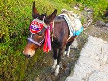 Ezel in nationale kledij in trek van de Bergenannapurna van Himalayagebergte royalty-vrije stock afbeeldingen