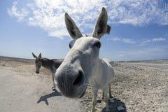 Ezel op Bonaire stock afbeeldingen