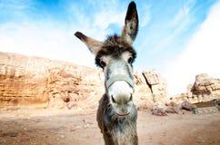 Ezel op een woestijn in het nationale park van Jordanië - Wadi Rum-woestijn Reis photoshoot Natuurlijke achtergrond Stock Afbeelding