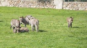 Ezel op het Italiaanse Eiland Sardinige Stock Afbeeldingen