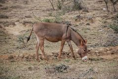 Ezel in savanne Kenia, Afrika royalty-vrije stock fotografie