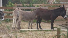 Ezel, species bedreigd in een landbouwbedrijf [50fps] stock footage