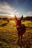Ezel voor koeien op weiland bij zonsopgang Stock Foto's