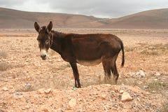Ezel in woestijn Stock Afbeelding