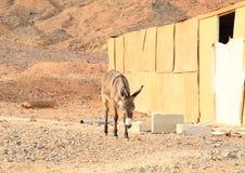 Ezel in woestijn in Marsa Alam stock afbeelding