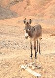 Ezel in woestijn in Marsa Alam royalty-vrije stock foto