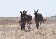 Ezels aan de steppe in werking die worden gesteld die royalty-vrije stock foto's