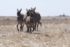 Ezels aan de steppe in werking die worden gesteld die royalty-vrije stock afbeeldingen