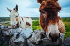Ezels in Aran Islands, Ierland Royalty-vrije Stock Afbeeldingen