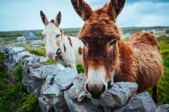 Ezels in Aran Islands, Ierland Royalty-vrije Stock Afbeelding