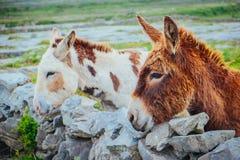 Ezels in Aran Islands, Ierland Stock Afbeelding
