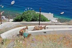 Ezels die onderaan de heuvel in Santorini, Griekenland lopen Stock Foto's