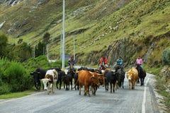 Ezels en paarden in het midden op de weg op de manier aan Huanuco, Peru Stock Foto