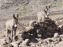 Ezels op de Canarische Eilanden Stock Afbeelding