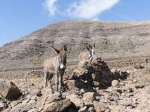 Ezels op de Canarische Eilanden Royalty-vrije Stock Afbeelding